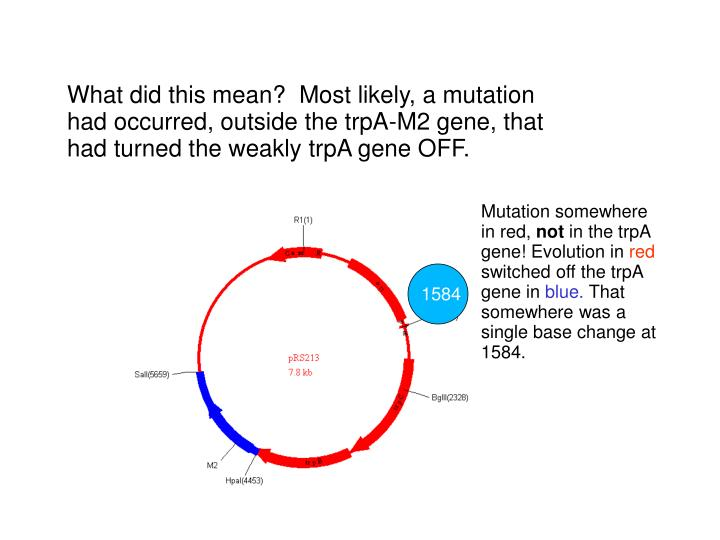 What did this mean?  Most likely, a mutation had occurred, outside the trpA-M2 gene, that had turned the weakly trpA gene OFF.