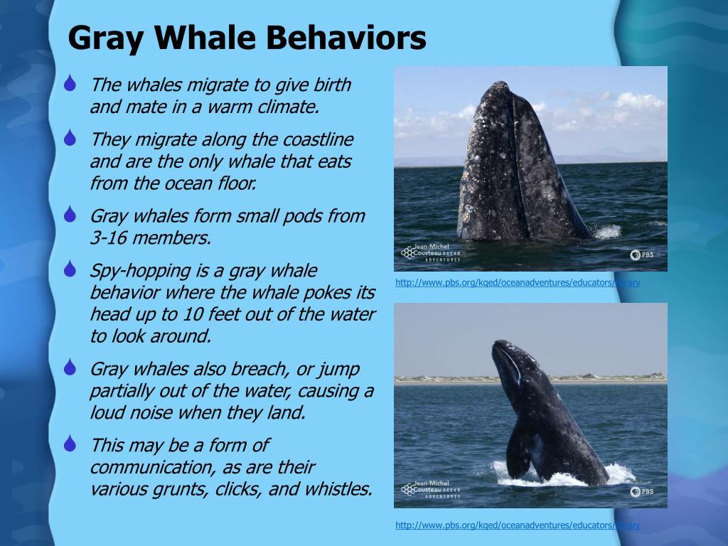 Gray Whale Behaviors