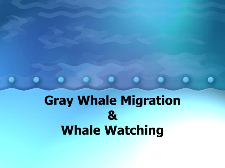 Gray whale migration whale watching l.jpg