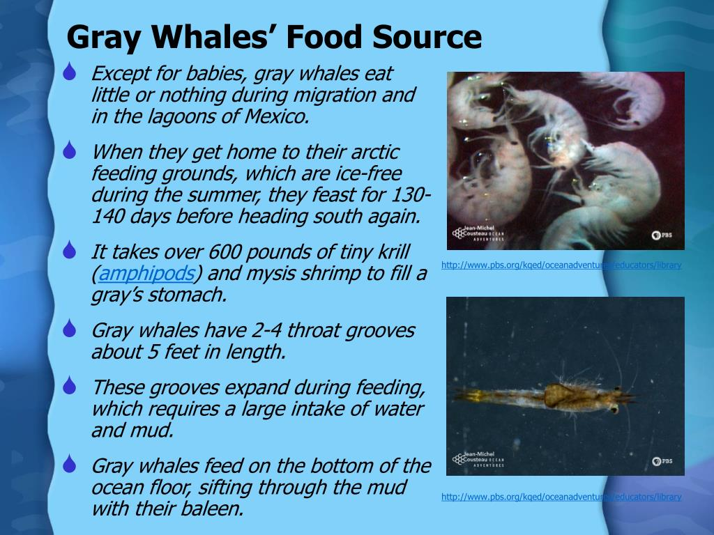Gray Whales' Food Source
