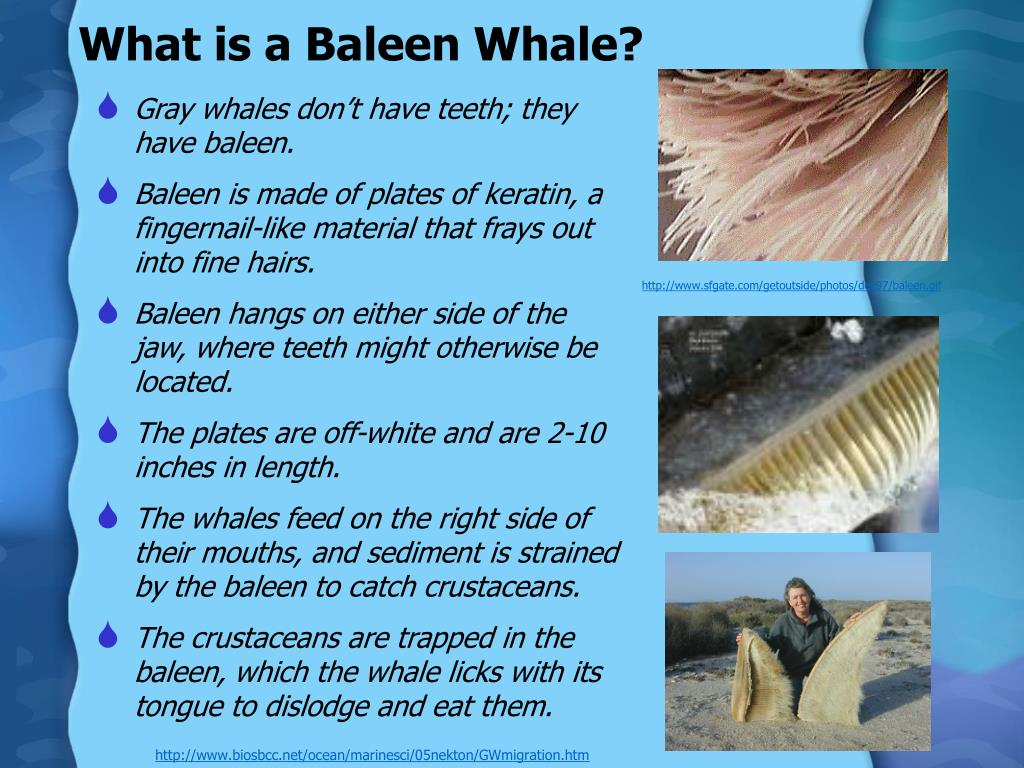 What is a Baleen Whale?