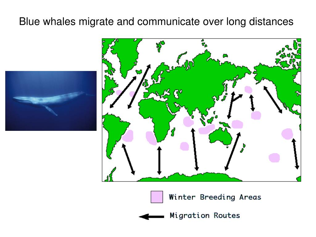 Blue whales migrate and communicate over long distances