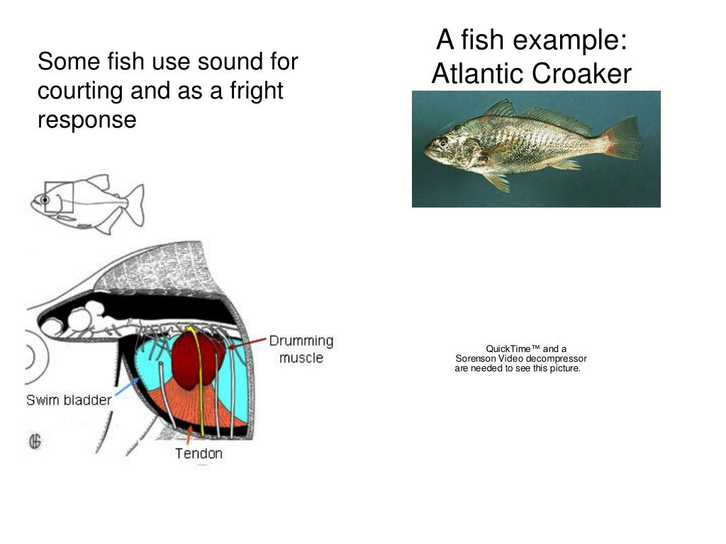 A fish example: Atlantic Croaker