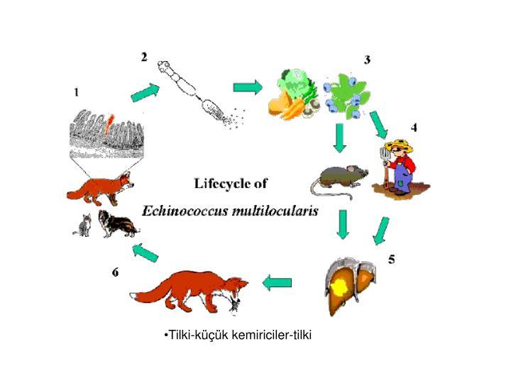 Tilki-küçük kemiriciler-tilki
