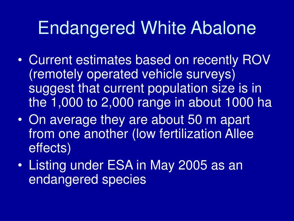 Endangered White Abalone