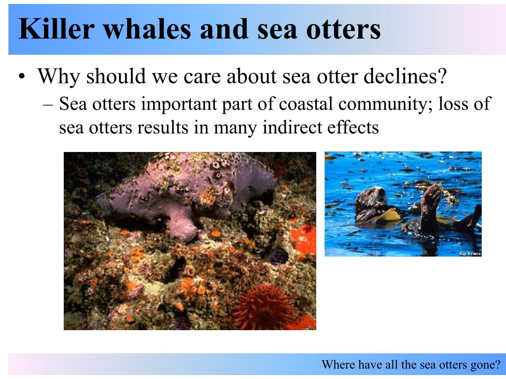 Sea otters important part of coastal community; loss of sea otters results in many indirect effects