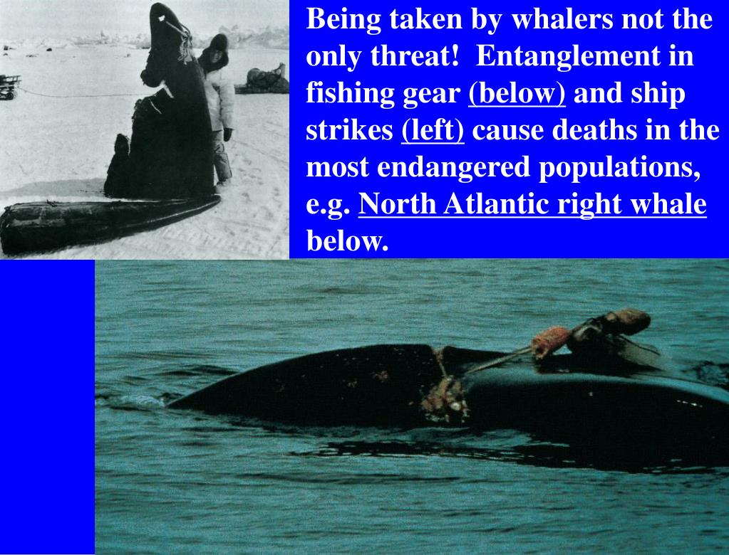 Being taken by whalers not the only threat!  Entanglement in fishing gear
