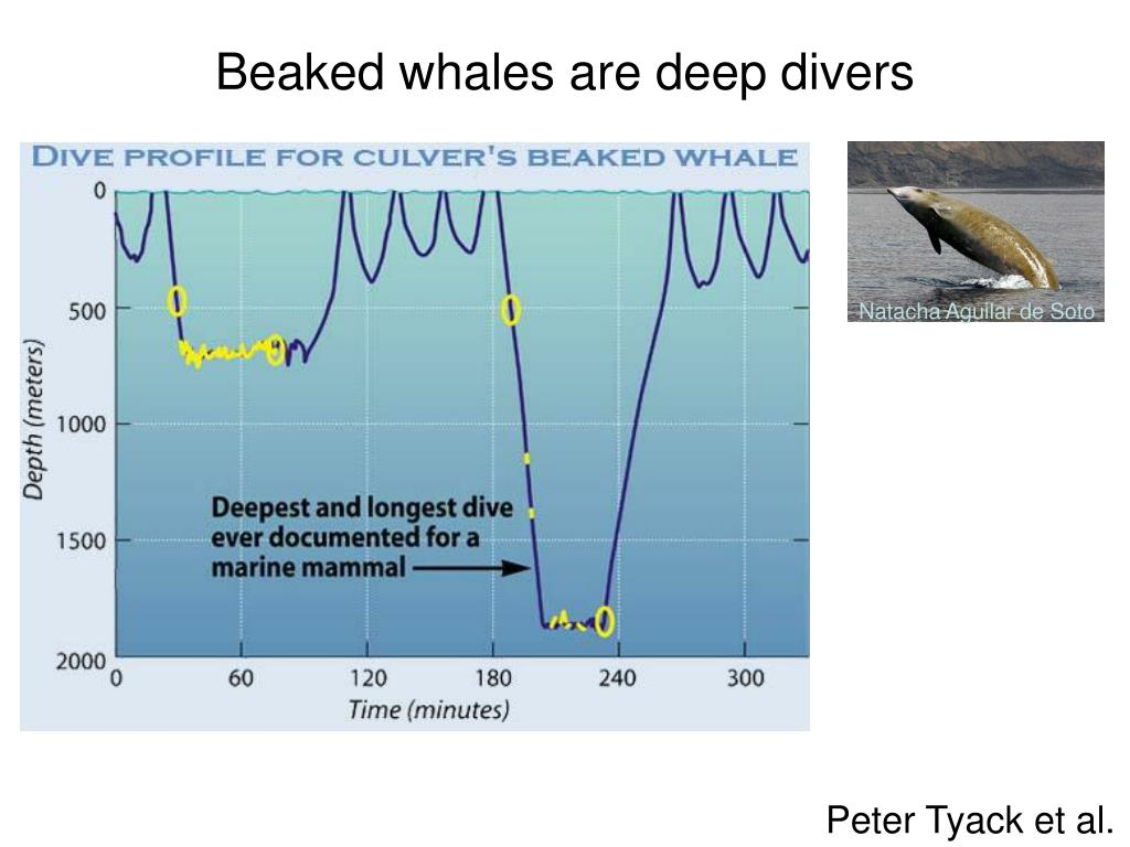 Beaked whales are deep divers