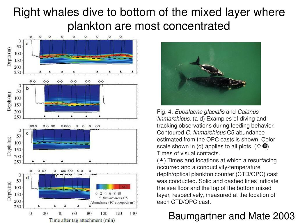 Right whales dive to bottom of the mixed layer where plankton are most concentrated