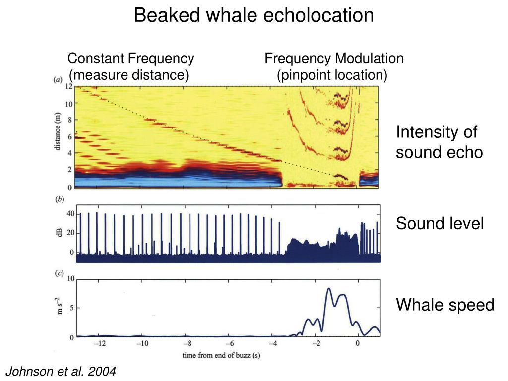 Beaked whale echolocation