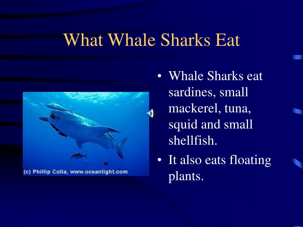 What Whale Sharks Eat