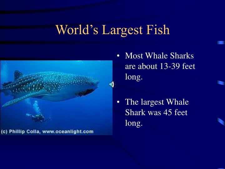 World s largest fish