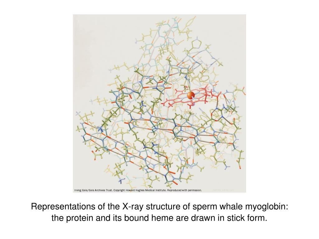 Representations of the X-ray structure of sperm whale myoglobin:  the protein and its bound heme are drawn in stick form.