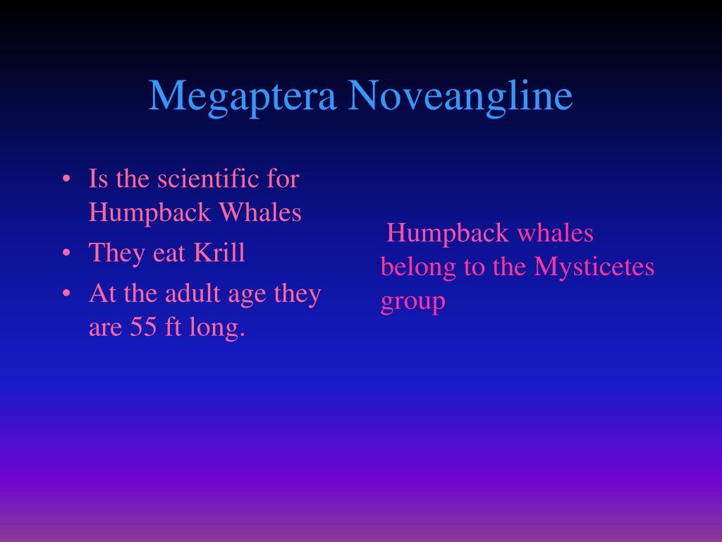 Megaptera Noveangline