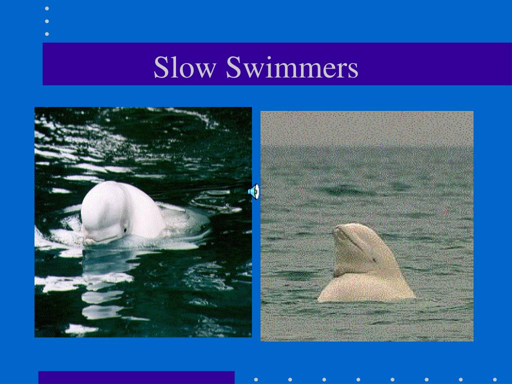 Beluga whales are slow swimmers