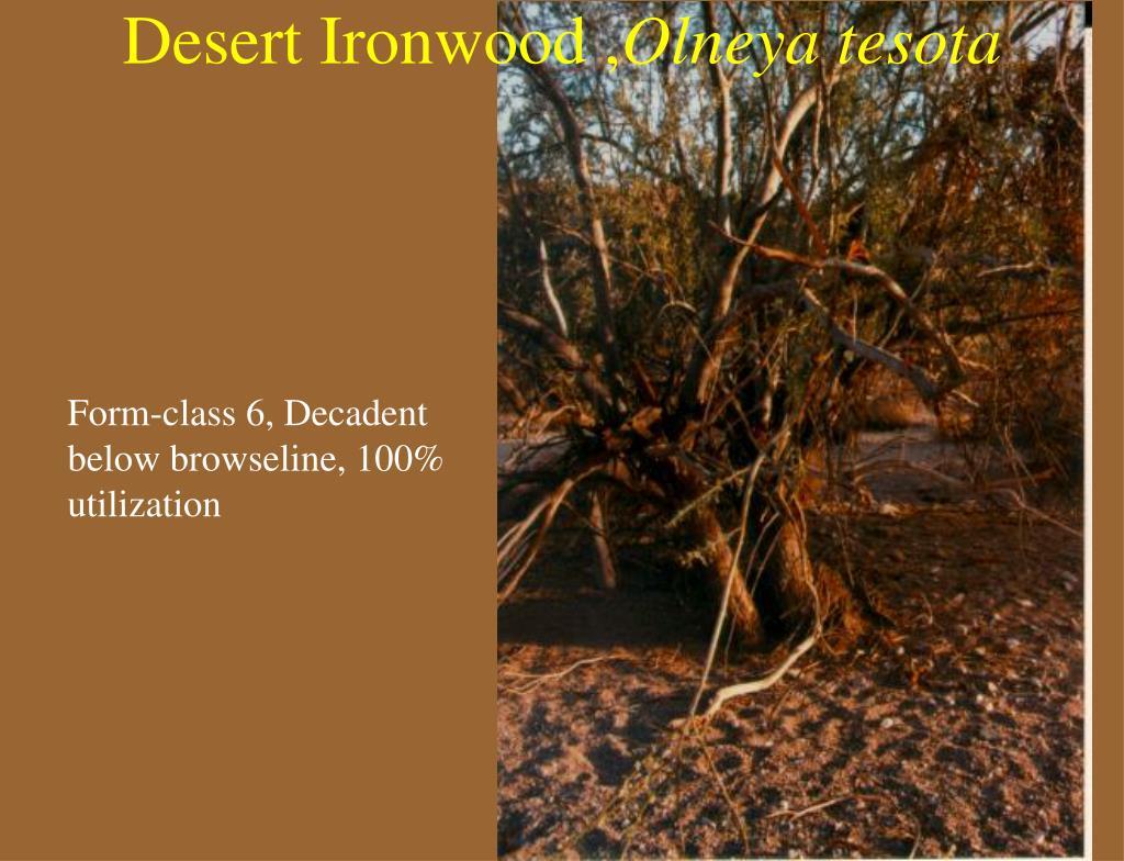 Desert Ironwood ,