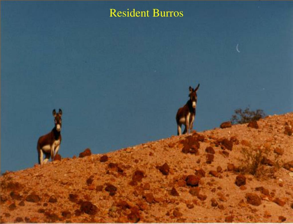 Resident Burros
