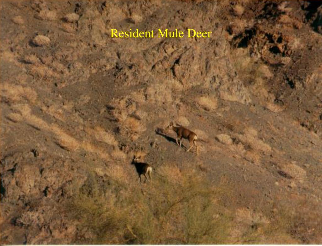Resident Mule Deer