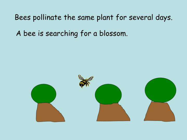 Bees pollinate the same plant for several days.