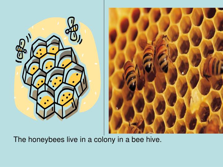 The honeybees live in a colony in a bee hive.