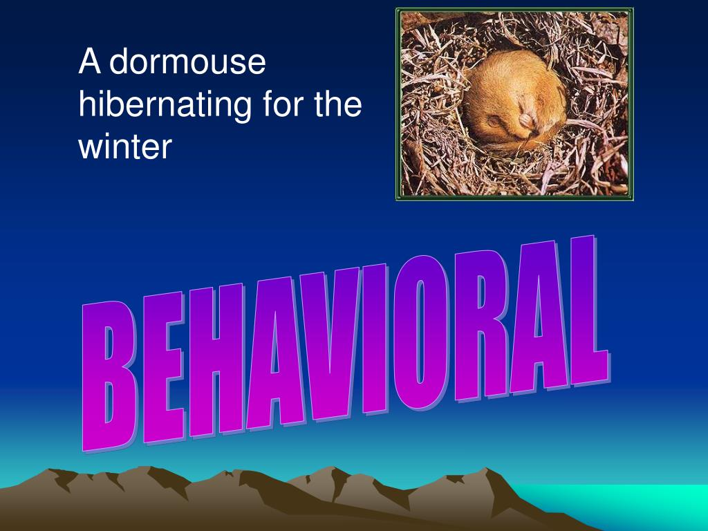 A dormouse hibernating for the winter