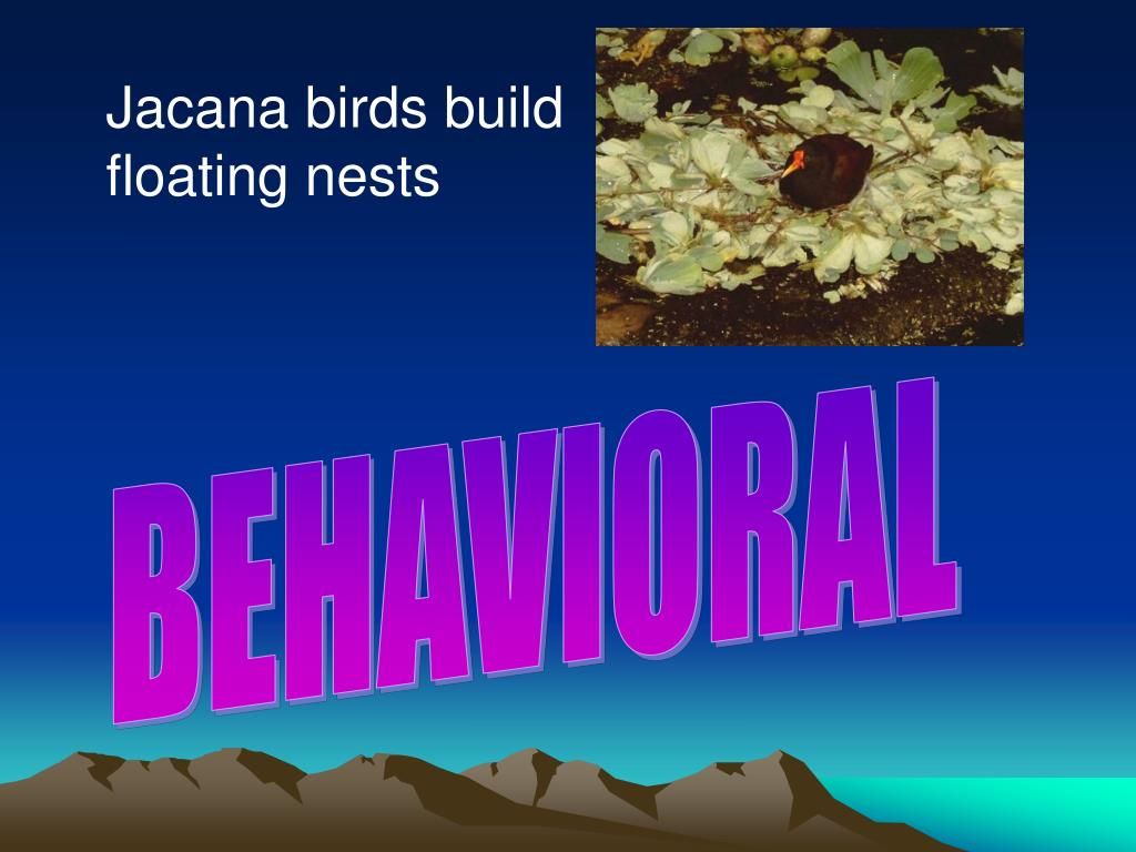 Jacana birds build floating nests