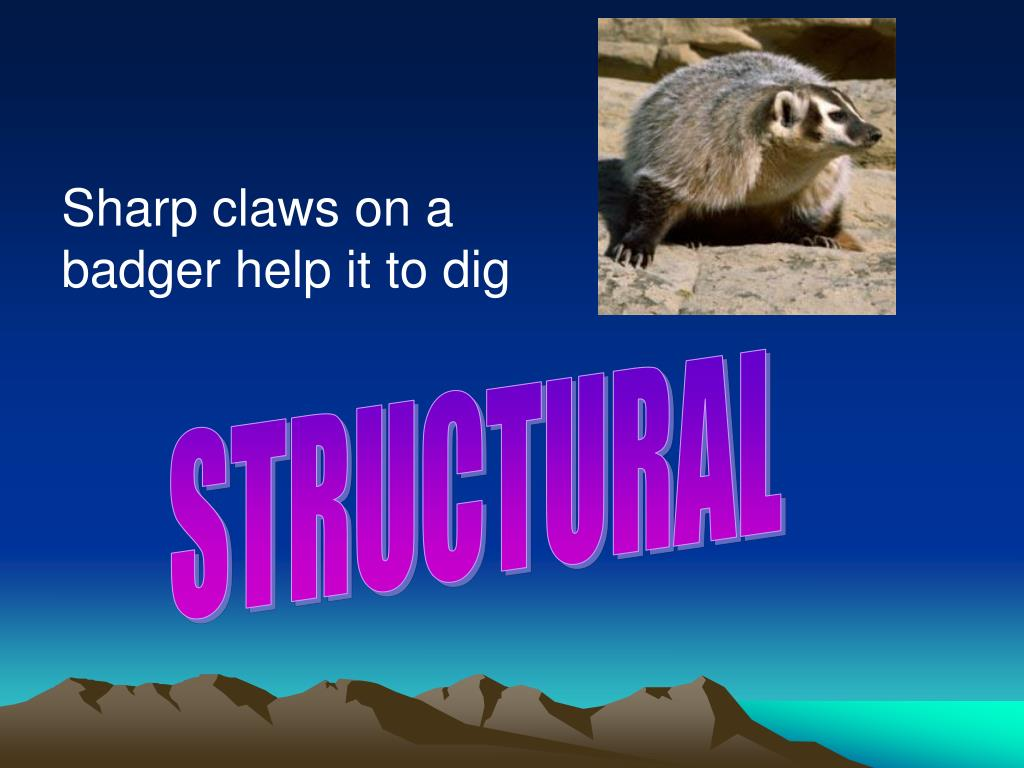 Sharp claws on a badger help it to dig