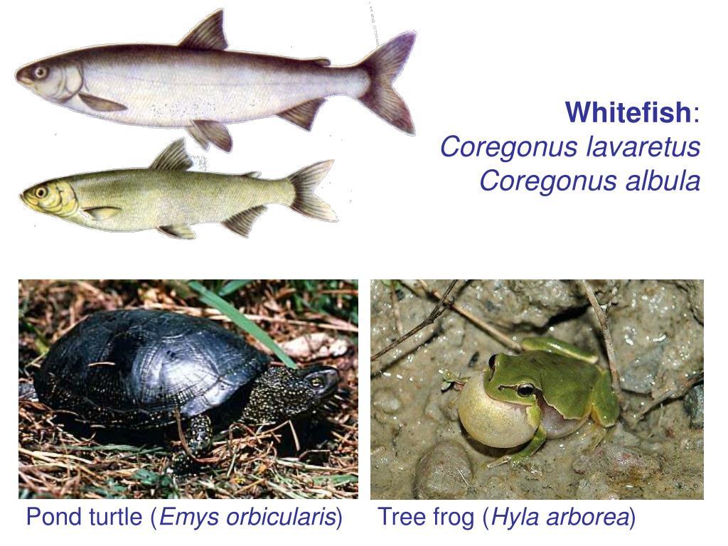 Pond turtle (