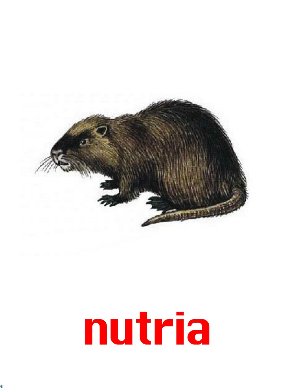 nutria