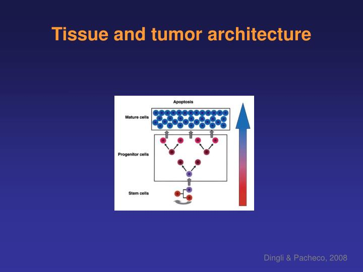 Tissue and tumor architecture