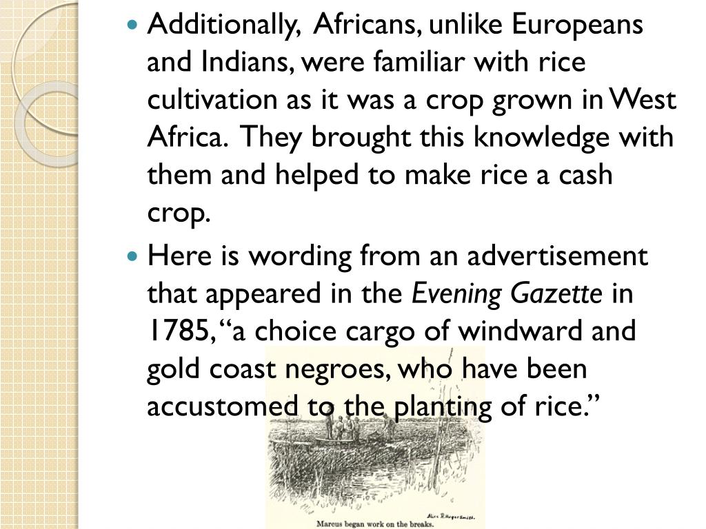 Additionally,  Africans, unlike Europeans and Indians, were familiar with rice cultivation as it was a crop grown in West Africa.  They brought this knowledge with them and helped to make rice a cash crop.