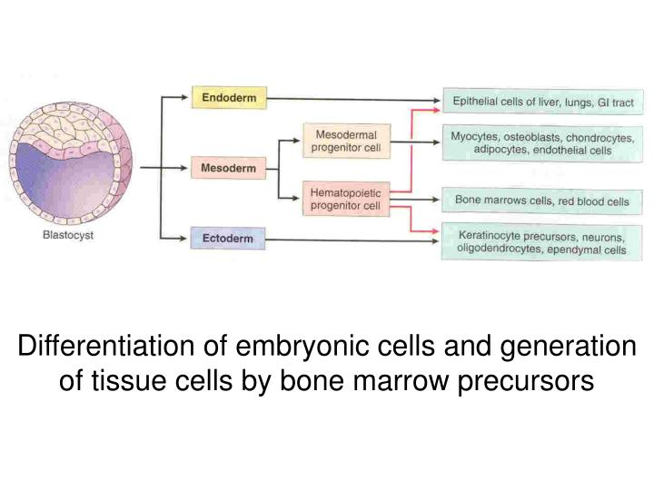 Differentiation of embryonic cells and generation of tissue cells by bone marrow precursors