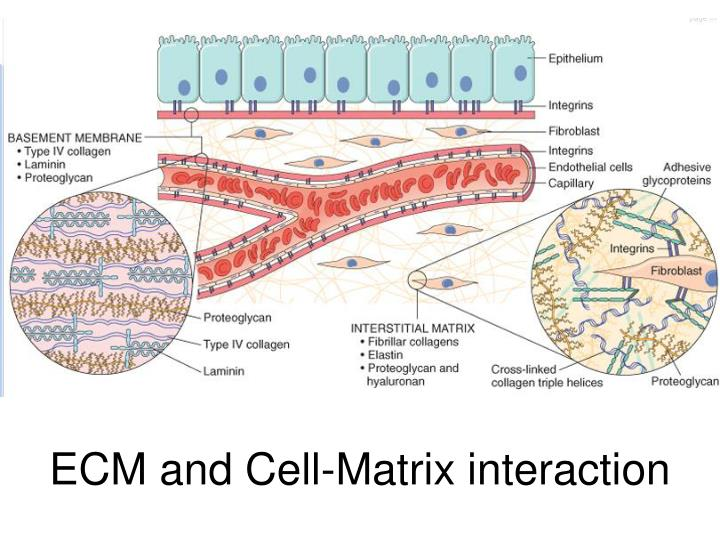 ECM and Cell-Matrix interaction