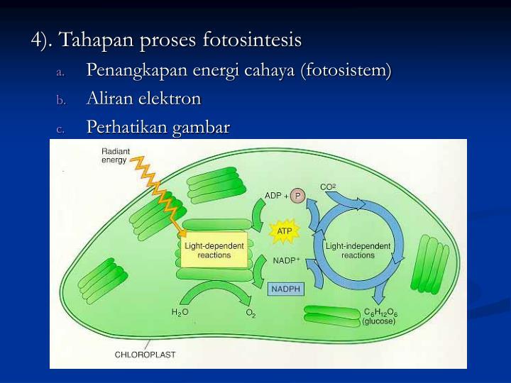 4). Tahapan proses fotosintesis