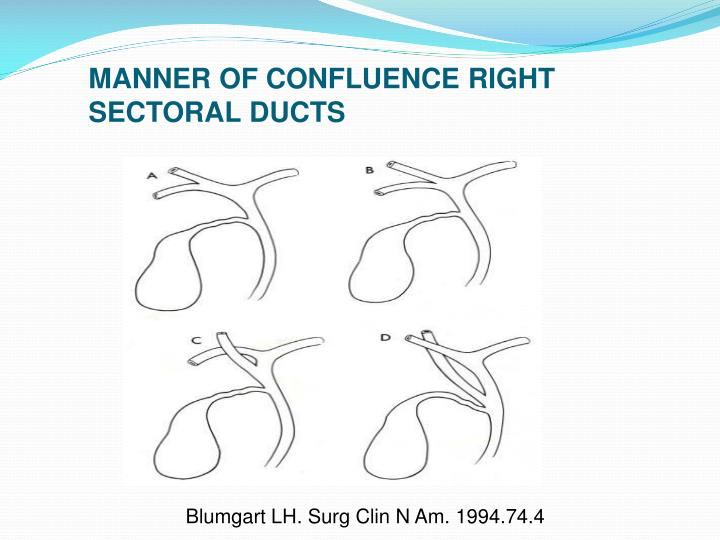 MANNER OF CONFLUENCE RIGHT SECTORAL DUCTS