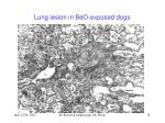lung lesion in beo exposed dogs