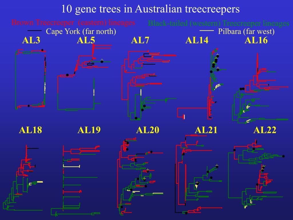 10 gene trees in Australian treecreepers