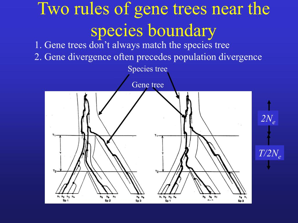 Two rules of gene trees near the species boundary