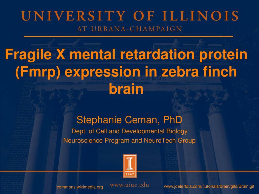 Fragile X mental retardation protein (Fmrp) expression in zebra finch brain