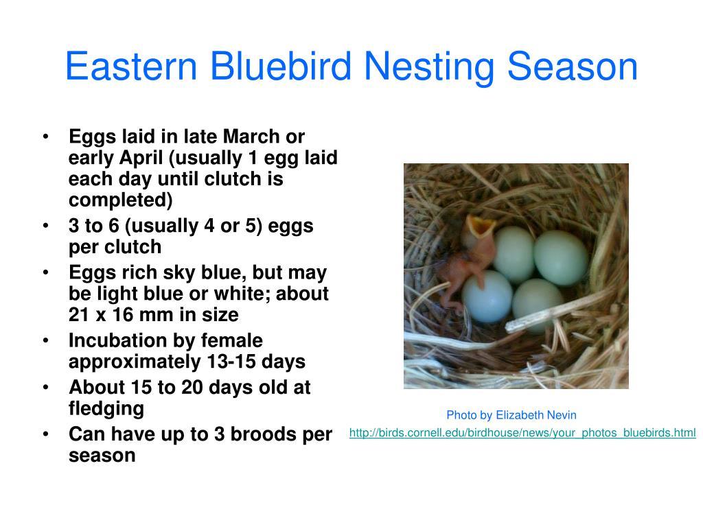 Eastern Bluebird Nesting Season
