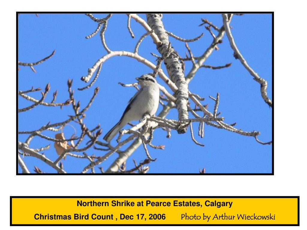 Northern Shrike at Pearce Estates, Calgary