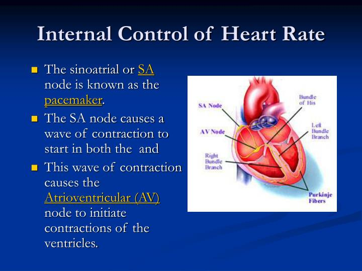 Internal control of heart rate1