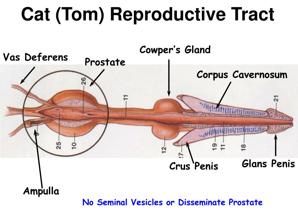 Cat (Tom) Reproductive Tract
