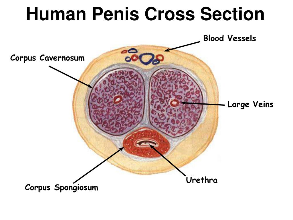 Human Penis Cross Section
