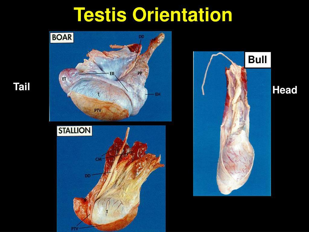 Testis Orientation