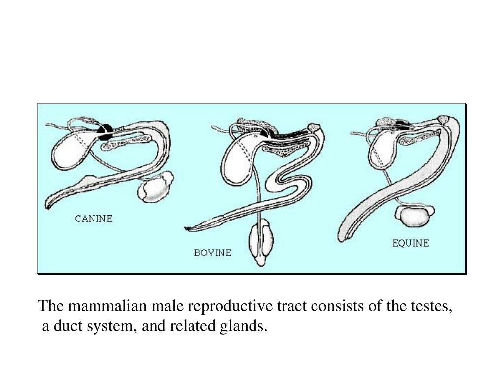 The mammalian male reproductive tract consists of the testes,