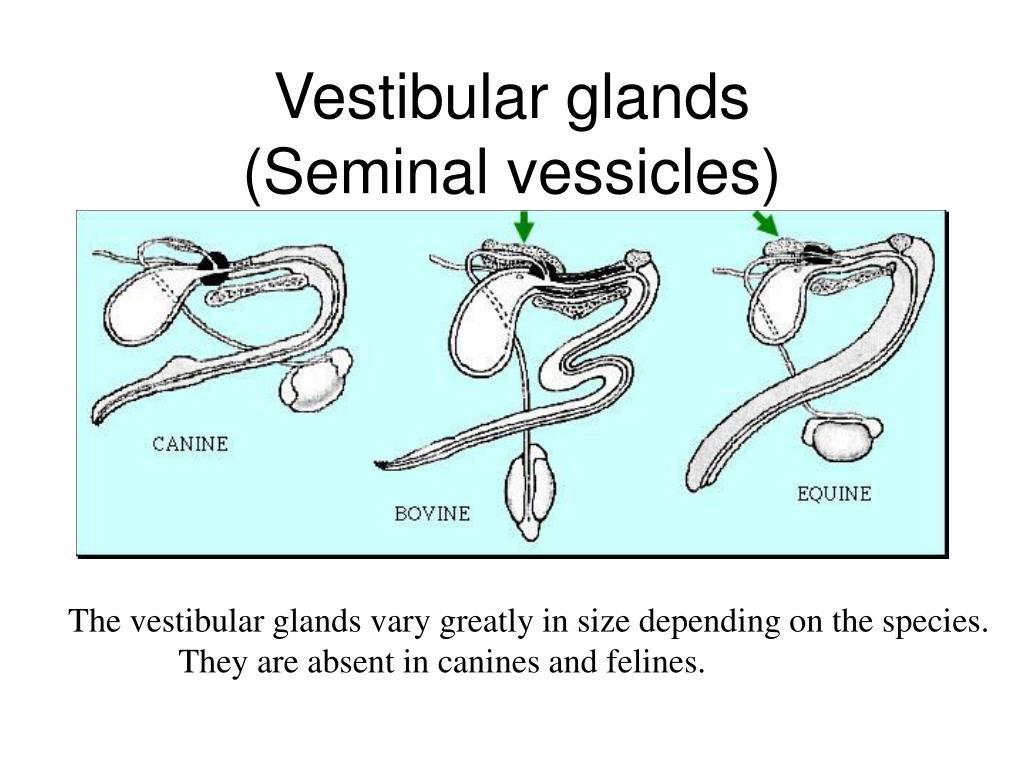 Vestibular glands
