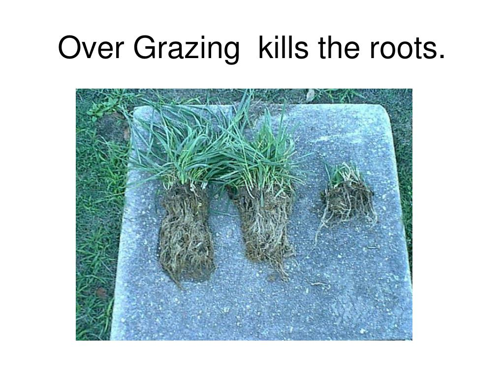 Over Grazing  kills the roots.