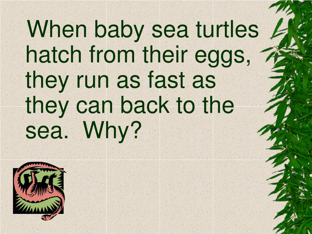 When baby sea turtles hatch from their eggs, they run as fast as they can back to the sea.  Why?