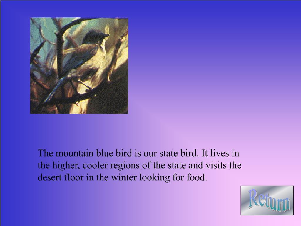 The mountain blue bird is our state bird. It lives in the higher, cooler regions of the state and visits the desert floor in the winter looking for food.